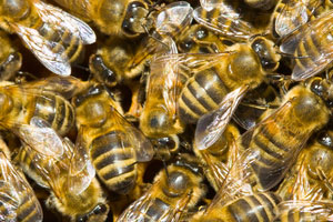 bijen Suriname