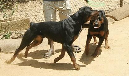 honden afmaken agressief FamilieNieuws Paramaribo Suriname