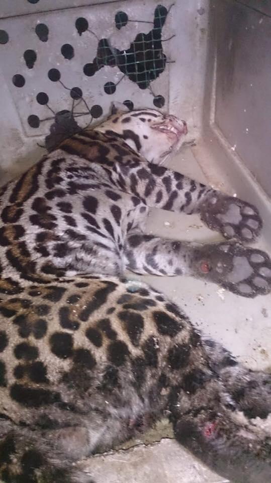 jaguar Suriname