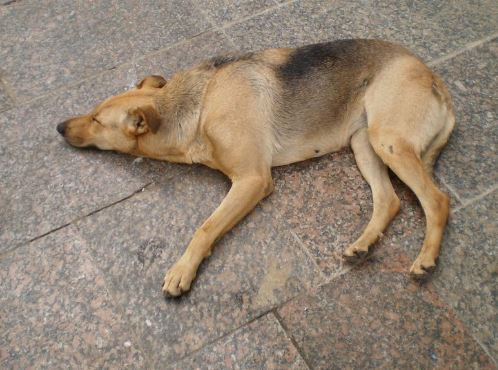 hond Suriname