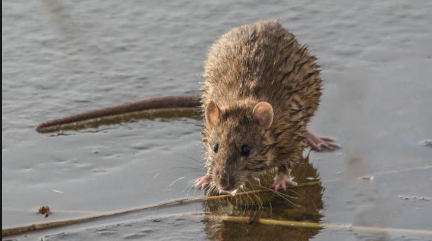 rat Paramaribo