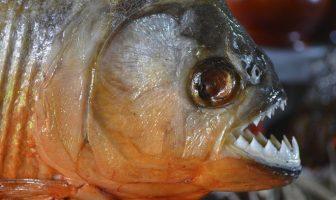 Piranha Suriname vakantie