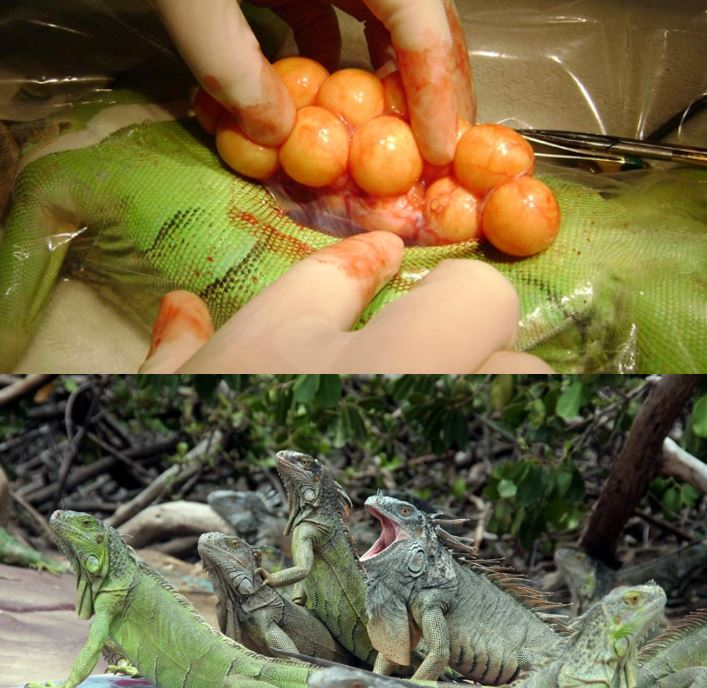 leguaan Suriname
